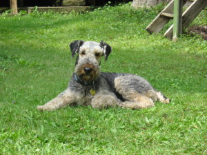 Airedale terrier lying on the grass